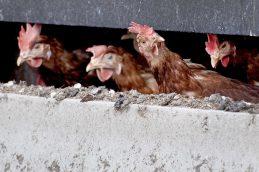 Россия запретила ввоз птицы из нескольких европейских стран