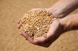 Мишустин уточнил пошлины на экспорт пшеницы, ячменя и кукурузы